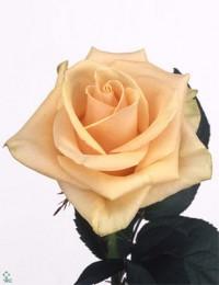 """Роза """"Примадонна"""""""