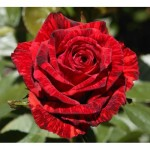 "Роза ""Ред Интуишн"""