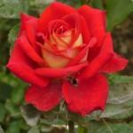 "Роза""Нью Джерси"""