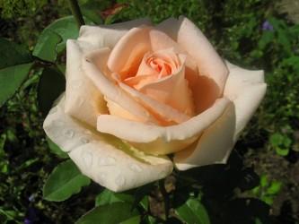 "Роза""Осиана"""
