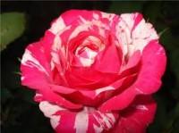 """Роза""""Токад"""""""