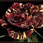 Роза – царица цветов