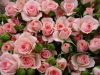 "Роза спрей ""Розовый"""