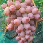 Виноград Румба (столовый)