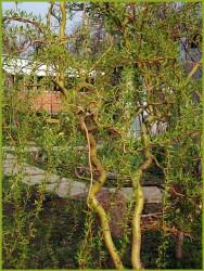 Ива извилистая Эритрофлексуоза 120-140 см.