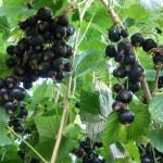 Смородина черная Севчанка