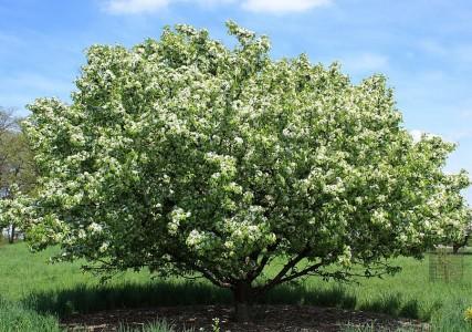 Яблоня ягодная (Сибирская)