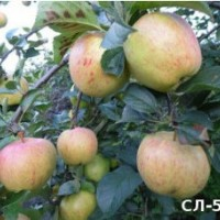 Яблони, которые выросли сами по себе