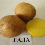 Картофель Гала (ранний)