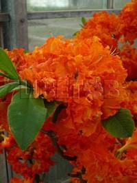 Азалия Спениш Денсер (молодое растение)