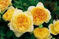Роза  Тизин  Джорджия