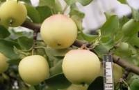 """Яблоня крупноплодная """"Юнга"""""""