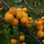 Абрикос сеянец крупноплодная отборная форма