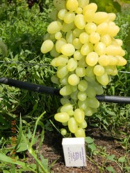 Виноград Зарница (столовый)