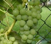 """Виноград """"Вардува"""""""