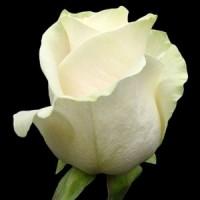 """Роза """"Венделла"""""""