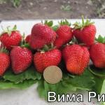 """Земляника """"Вима Рина"""" рем."""