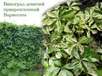 "Виноград девичий прикрепленный ""Вариегата"""