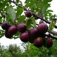 Сливово-вишневый гибрид (СВГ) Опата