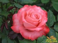 """Роза """"Вижион"""""""