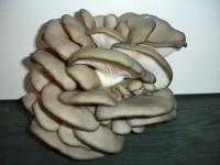 Вешенка (Хитчер) Китайский черный гриб- Грибная грядка