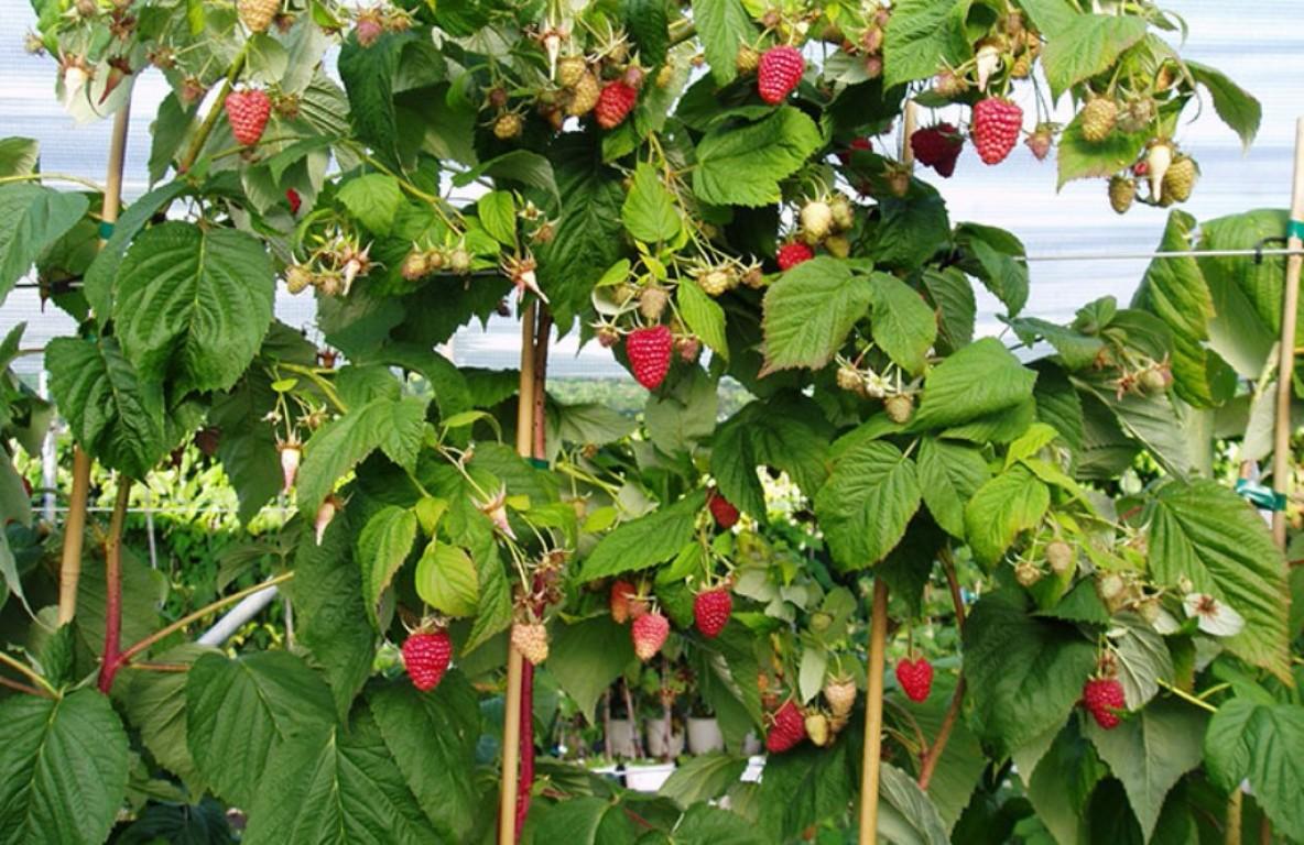 Малиновое дерево особенности выращивания 2
