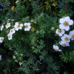 Лапчатка кустарниковая  белая