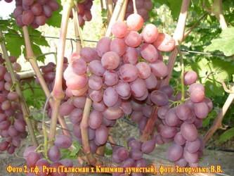 Виноград Рута (столовый)