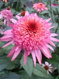 Эхинацея пурпурная «Пинк Дабл Делайт»