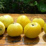 Яблоня Китайка золотая    (20-50 см)