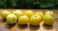 Яблоня Китайка золотая (туба)
