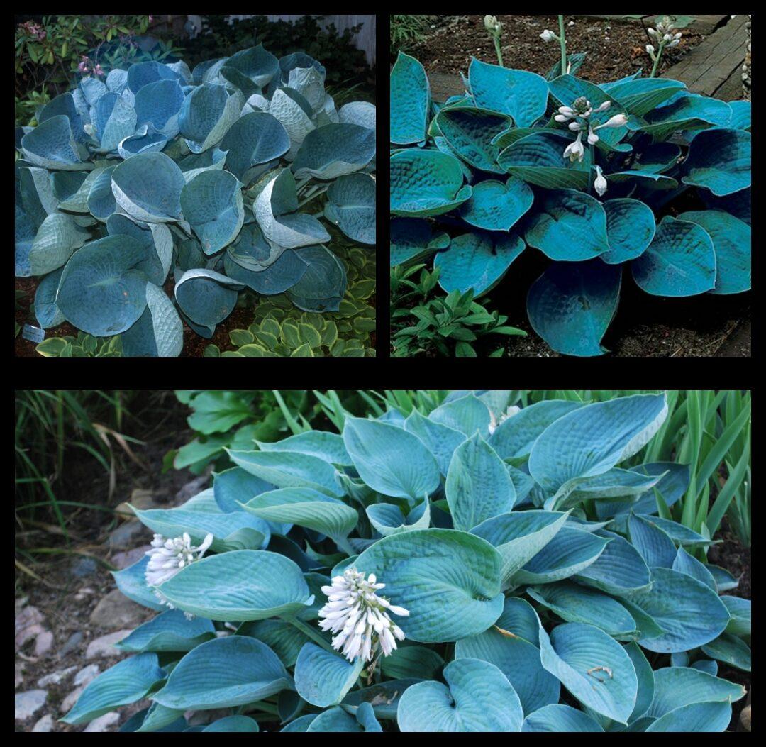 Хоста с голубыми цветами фото