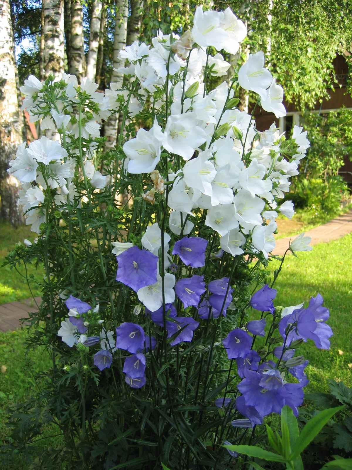 Многолетние цветы колокольчик